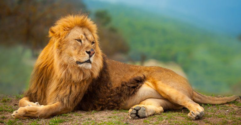 about conscious living - lion